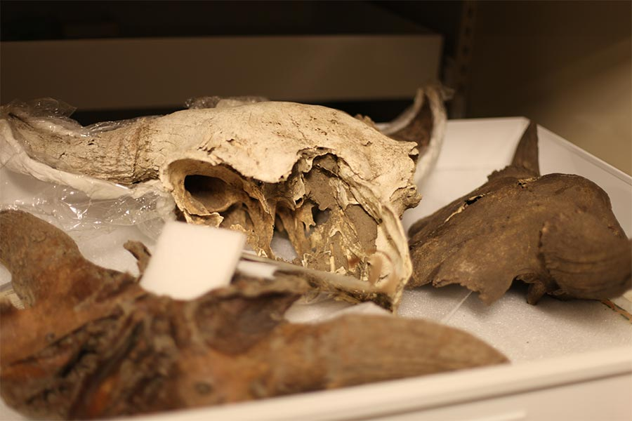 Buffalo Bones Return to the Black Hills to be Preserved for Study